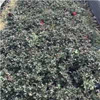 漳州哪里有优质丰花月季大量供应 物美价廉