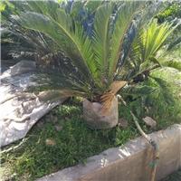 公园庭园观叶植物苏铁多规格低价供应厂