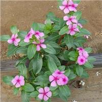 四季常青绿化植物长春花常年面向全国供应厂