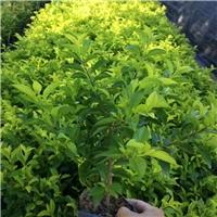 福建苗木供应基地大量供应优质绿化苗黄金叶