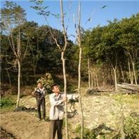 福建大量批发供应多规格绿化树黄花风铃木厂