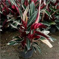 厂家常年供应优质盆栽绿化植物七彩竹芋