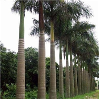 自产自销多规格造景绿化树大王椰子质量可靠