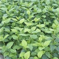 广州基地特价供应地被袋苗盆栽绿植青叶扶桑