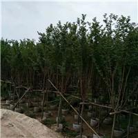 基地直销多规格园林景观工程树小叶紫薇