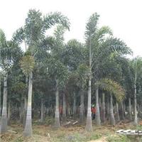 基地供应各种规格绿化景观树狐尾椰子