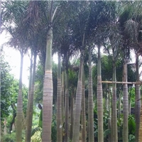基地供应各种规格绿化景观树狐尾椰子厂