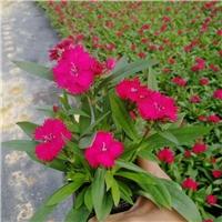 大量批发供应园林花海用观赏花卉植物石竹厂