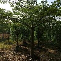 漳州苗木种植基地大量供应精品小乔木木棉厂