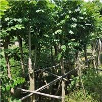 多规格大量供应优质绿化行道树火焰木袋苗厂