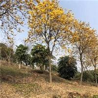 现货供应园林行道景观树黄花风铃木质优价廉厂