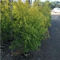 基地直销灌木类美化环境观叶绿植黄金宝树厂