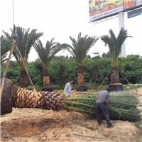 四季常青景观热带风景树加拿利海枣大量供应