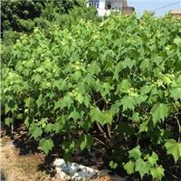 福建基地常年大量供应高60公分木芙蓉小苗厂