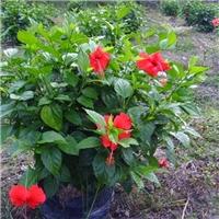 基地直销庭园小区观花绿化植物重瓣扶桑