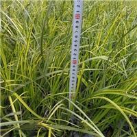 青州苗木长期批发供应水生植物金叶石菖蒲厂