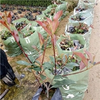 基地批发供应行道园林工程绿化苗红叶石楠