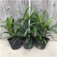 四季常青园林绿化盆栽绿化植物细叶棕竹
