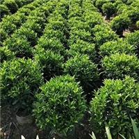 常年特价供应各种形状绿化树非洲茉莉球