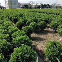 常年特价供应各种形状绿化树非洲茉莉球厂