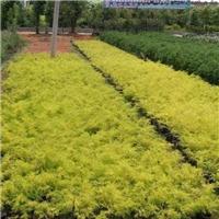 直销供应庭园小区观叶绿化植物千层金厂