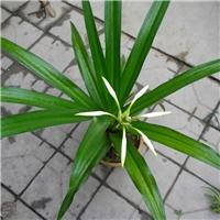 直销供应赏花盆栽绿植文殊兰 物美价廉