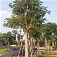 基地直销供应多规格绿化工程苗木凤凰木厂
