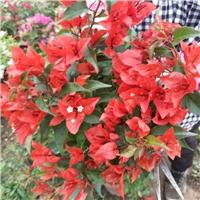 常年大量供应当季开花室内盆栽花卉三角梅