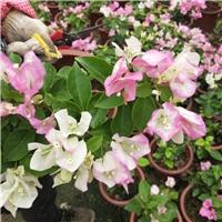 常年大量供应当季开花室内盆栽花卉三角梅厂