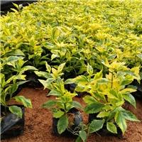年大量供应优质园林绿化地被金边假连翘厂