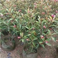 精选园林绿化苗木琴叶珊瑚批发供应