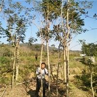 基地批发供应工程绿化景观树黄花风铃木