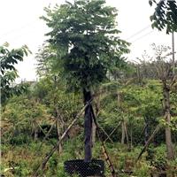 台湾栾树基地报价 5-20公分栾树什么价格