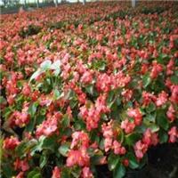 江西赣州哪里有四季秋海棠绿化苗卖