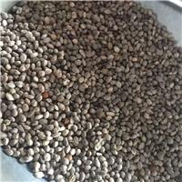 辽宁省红瑞木种子东北红瑞木种子