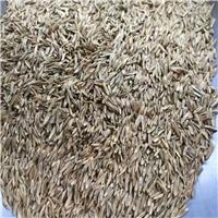 进口 黑麦草种子 发芽率百分之85%