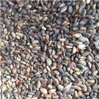 供应 油松种子 现货批发厂