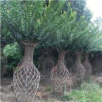 四川精品紫薇树 编制花瓶造型树百日红花瓶