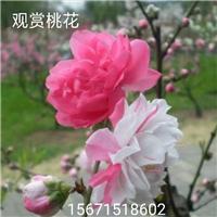 桃花树―桃花树―桃花树