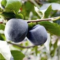 黑柿子苗营养价值高柿子苗新品种 黑柿子苗价格 黑柿子苗批发