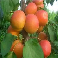 丰园红杏口味香甜果子全红 丰园红杏树价格 丰园红杏树基地
