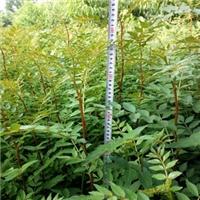 九叶青花椒苗品种南方种植不抗冻