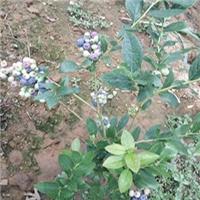 抗寒蓝莓苗新品种珠宝绿宝石蓝莓苗