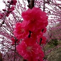 红叶碧桃3厘米的价格红叶碧桃工地用苗规格
