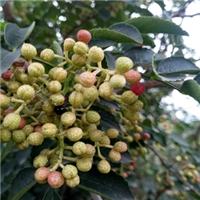 无刺花椒苗新品种是嫁接苗长得快坐果率高