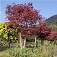成都红枫基地日本红枫中国红枫低价处理