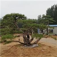 山东泰山造型松种植基地电话