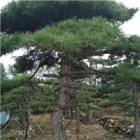泰山造型松种植基地