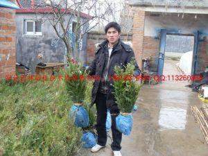 沭阳县绿达园林绿化苗木场