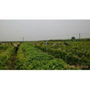 锦州北镇葡萄苗繁育基地